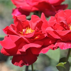"MR. LINCOLN--Tea rose, Red fragrant flower,4-6"" bloom 6'x3' bush Zone 5-10"
