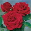 "CRYSLER IMPERIAL--Tea rose,Old Fashioned Damask Fragrant bloom 4-6""  6'x3' bush Zone 4-9"