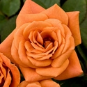 TEDDY BEAR ROSE-SLIGHTLY FRAGRANT APRICOT RUSSET COLOR BLOOMS SEMI-MINI Zone 5