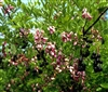 MOUNTAIN LAUREL EVE'S NECKLACE-Sophora affinis-Fragrant Drooping Clusters of Pink Flowers Z 7