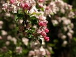 CRABAPPLE NATIVE AMERICAN CRABAPPLE-Malus- WHITE TO PINK TO WHITE/PINK COMBO BLOOMS Z 3