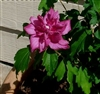 ALTHEA-Hibiscus syriacus BLOOMS DOUBLE RED or Rose of Sharon   Z 5