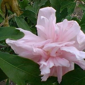 Althea Hibiscus Syriacus Double Pink Or Rose Of Sharon Zone 5