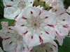 MOUNTAIN LAUREL AMERICAN-Kalmia latifolia-Clusters of Pink and White  Z 4