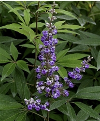 "CHASTETREE-Vitex agnus-castus 'Shoal Creek'-Large Blue-Violet Flowers12-18"" long Z 6"