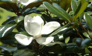 Magnolia Southern Magnolia Magnolia Grandiflora Creamy White