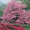 FLOWERING DOGWOOD PINK-Cornus florida 'Cherokee Princess'-Single Pink Blooms Red Berries   Zone: 5