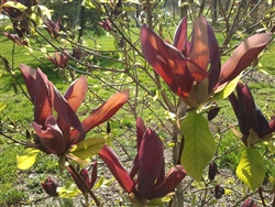 MAGNOLIA BLACK BEAUTY-Magnolia x brooklynensis 'Black Beauty' Black to Dark Purple Blooms  Zone 4b