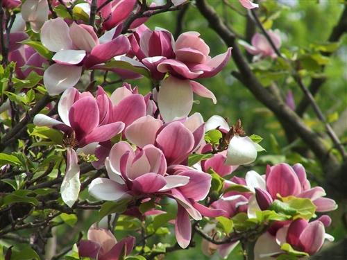 Magnolia Stellata âsusanâ Fragrant Purpleredwhite Bloom Z 5