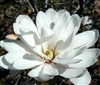 MAGNOLIA STELLATA CENTENNIAL- 'STAR MAGNOLIA' Large Fragrant White Double Bloom Z 4