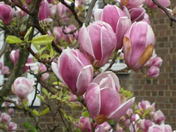 MAGNOLIA SAUCER MAGNOLIA-Magnolia x soulangiana-White flushed with Purple Fragrant BLOOM Z 4b