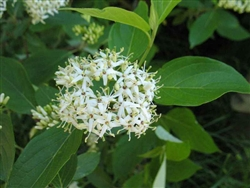 DOGWOOD SILKY-Cornus amomum 'Silky'-Yellowish-White Cluster Blooms White to Blue Berries Zone: 5