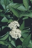 DOGWOOD Grey Twig-Cornus rcemosa-Cluster White Blooms White Berries Zone: 3