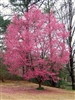 CHERRY FLOWERING CHERRY OKAME-Prunus x incamp 'Okame' SINGLE PINK BLOOMS Zone: 6