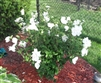 ALTHEA-Double White Althea 'Hibiscus syriacus'  Zone 5