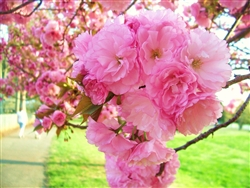 CHERRY FLOWERING CHERRY KWANZAN-Prunus 'Kwanzan' DOUBLE PINK BLOOMS  Zone: 5