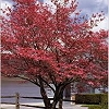 DOGWOOD RED DOGWOOD-Cornus florida 'Cherokee Chief' Red Blooms Red Berries Zone: 5
