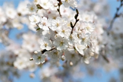 CHERRY FLOWERING CHERRY YOSHINO-Prunus x vedoensis Yoshino-Blooms Fragrant White-Pink Z 5