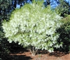FRINGETREE: Grandfathers Beard-Chionanthus virginicus-Fluffy White Bloooms ZONE 4