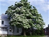 CATALPA NORTHERN CATALPA TREE-Catalpa speciosa-White Blooms Z4