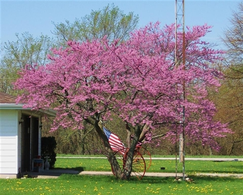 Redbud Texas Redbud Cercis Canadensis Showy Clusters Of Soft Pink