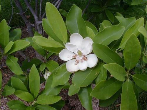 Magnolia Sweetbay Magnolia Magnolia Virginiana Creamy