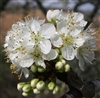 PLUM MEXICAN PLUM-Prunus mexicana-FRAGRANT WHITE BLOOMS PURPLE RED FRUIT Z 6