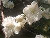 Double White Early Flowering Peach Prunus persica Snow White Dbl Bloom Zone 6