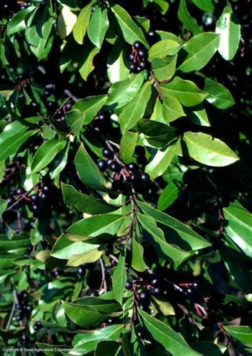 Cherry Laurel Prunus Caroliniana Fast Growing Tree Zone 7