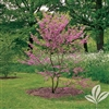 REDBUD TEXAS REDBUD-Cercis texensis-Showy Clusters of Soft Pink to Magenta Blooms Z  4