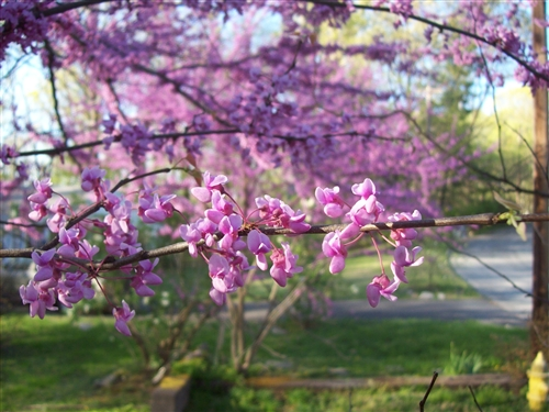 Redbud Texas Redbud Cercis Texensis Showy Clusters Of Soft Pink To