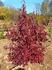 Dwarf Dogwood Little Ruby-Cornus Single and Double Pink to Red Zone: 6