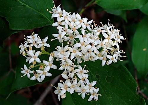 Dogwood roughleaf white flowering dogwood cornus drummondii cluster dogwood roughleaf white flowering dogwood cornus drummondii cluster of white blooms white berries zone 4 mightylinksfo