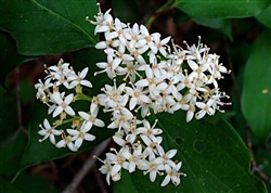 DOGWOOD ROUGHLEAF WHITE FLOWERING DOGWOOD-Cornus drummondii-Cluster of White Blooms White Berries Zone: 4