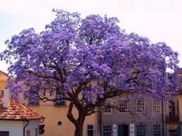 Royal Empress Tree Paulownia Tomentosa Fragrant Lavender