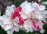 PEACH PEPPERMINT FLOWERING PEACH TREE-Prunus persica 'variegated' Zone 6