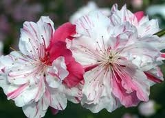 OUT TILL SPRING.....PEACH PEPPERMINT FLOWERING PEACH TREE-Prunus persica 'variegated' Zone 6 SEND US EMAIL TO RESERVE