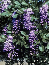 "MOUNTAIN LAUREL TEXAS MOUNTAIN LAUREL-Sophora secundiflora-Fragrant large Bluish-Lavender flowers 3-7"" long drooping clusters Z 7b"