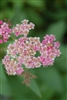 SPRIEA ANTHONY WATERER PINK BRIDAL'S WREATH PINK-LAVENDER BLOOMS Flowering Shrub Zone 3