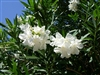 OLEANDER HARDY WHITE-WHITE BLOOMS  ZONE 8