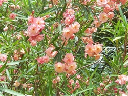 OLEANDER  Mrs. George Roeding (Double Apricot)   ZONE 8