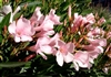 OLEANDER PETITE SALMON FRAGRANT SINGLE PEACHY BLOOMS Zone 8