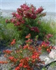 NIS AT THIS TIME-----SCOTCH BROOM-Cytisus scoparius 'Burkwoodii'  Blooms Bright Red/yellow then to Maroon/purple Zone 5
