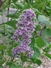TEMPORARILY OUT OF STOCK---COMMON OR FRENCH LILAC-Syringa vulgaris-SINGLE FRAGRANT PURPLE WHITE-EDGED BLOOMS Zone 3