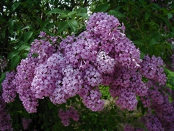 LILAC PERSIAN LILAC-Syringa persica-FRAGRANT PURPLE FLOWERS Zone 3