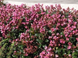 INDIAN HAWTHORN 'PINK LADY' Rhaphiolepis indica Zone 7