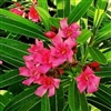 TURNER'S FLIRT OLEANDER-- Nerium oleander 'Turner's 5-387' Rose Red Blooms Zone 9