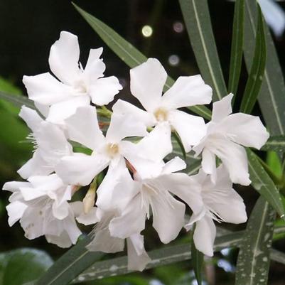 Petite White Oleander Nerium Oleander White Flowers Zone 9