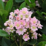 INDIAN HAWTHORN 'PINKIE'-- Rhaphiolepis indica Zone 7