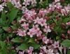 PINK WEIGELA-Weigela florida Deciduous Dark Purple foliage with pink blooms Zone 4